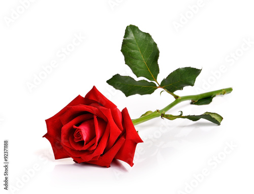 Red rose on white background #92371188
