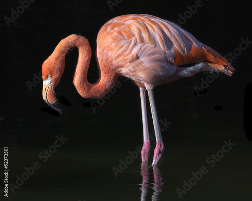 Garden Poster Flamingo flamingo on a black background