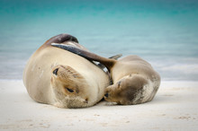 Mother And Child Sea Lion Hugg...