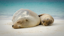 Mother And Child Sea Lion, Galapagos Islands, Ecuador