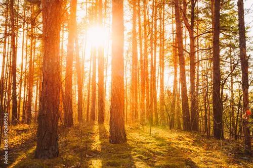 Papiers peints Forets Sunset Sunrise In Atumn Coniferous Forest Trees. Nature Woods