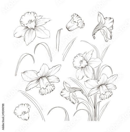 Cuadros en Lienzo Set of line drawing narcissus, vector illustration