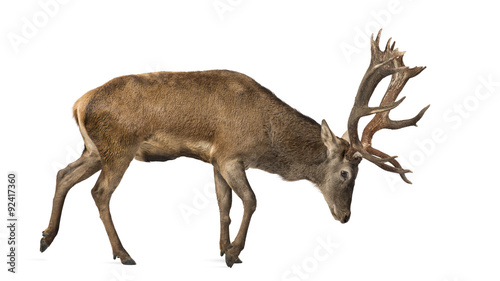 Poster Cerf Red deer stag in front of a white background