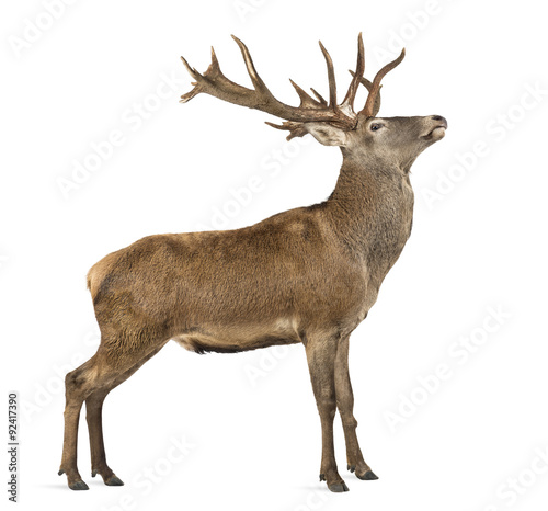 Poster Hert Red deer stag in front of a white background