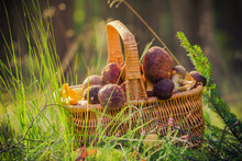 Basket Full Edible Mushrooms Forest