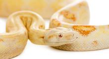 Close-up Of An Albino Royal Py...