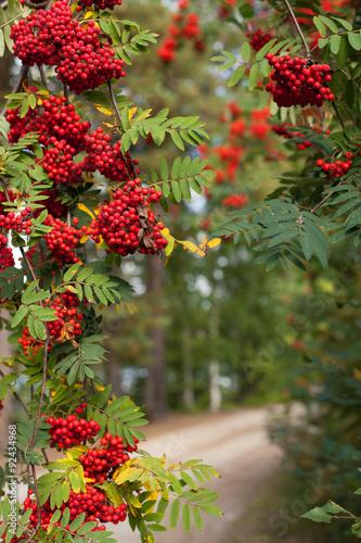 Fotografie, Obraz  Bunches of red rowan on tree