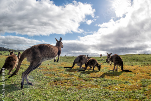 In de dag Kangoeroe Kangaroos family father mother and son portrait