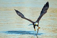 American Bald Eagle Grabbing F...