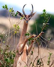 African Gazelle Gerenuk