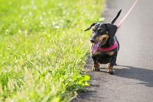 Beautiful Dog With Leather Leash