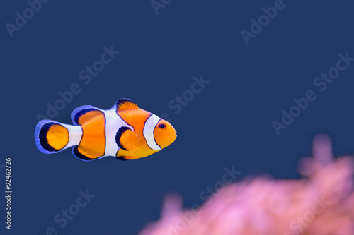 Photo Clown fish swimming in blue water with pink anemone