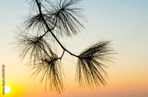 silhouette shadow of pine leave in sunset sky background #92478768