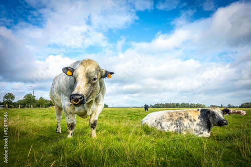 Fotografía  Belgian Blue Bull and Cow on a sunny day, belgium