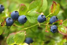 Wild Blueberries On The Bush I...