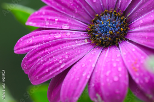 Fotografija  beautiful purple daisy in the morning dew