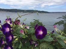 Kahkaha Çiçeği (Ipomoea Pur...
