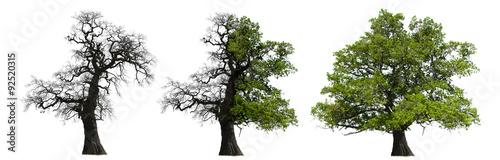 Kahle und Grüne Eiche im Wandel