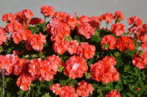 Papiers peints Azalea Geranien blühen rot orange
