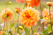 canvas print picture - Beautiful autumn dahlia flowers