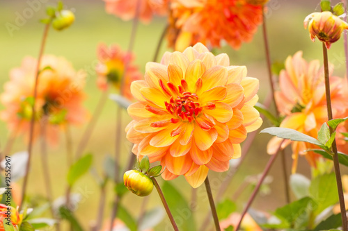 Poster Dahlia Beautiful autumn dahlia flowers