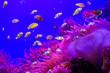 canvas print picture - Tropical aquarium with clownfish