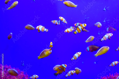 Fotografie, Tablou  Tropical aquarium with clownfish