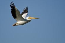 American White Pelican Flying ...