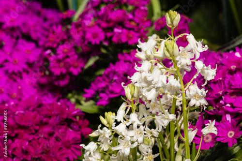 White bluebells with purple primula flowers buy this stock photo white bluebells with purple primula flowers mightylinksfo