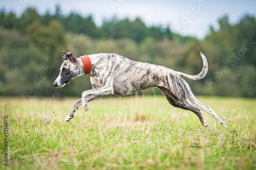 Printed kitchen splashbacks Khaki Whippet dog running in autumn