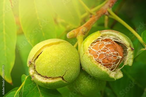 Obraz Ripe open green walnut fruit on branch - fototapety do salonu