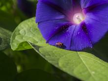 Ladybug On Purple Morning Glory Flower