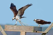Osprey Bringing Sticks Into Nest.