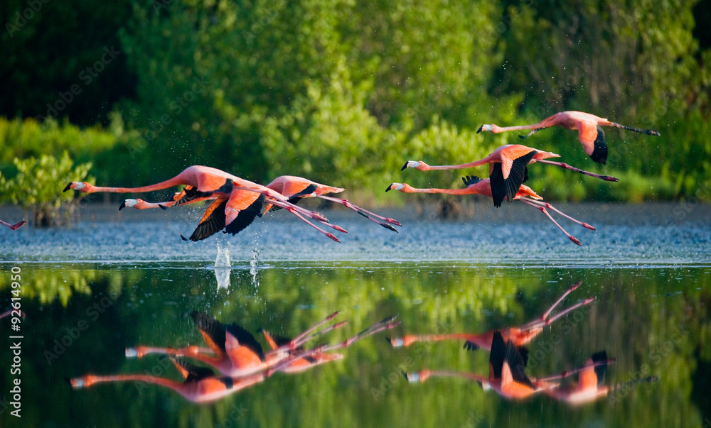 Caribbean flamingos flying over water with reflection. Cuba. An excellent illustration.