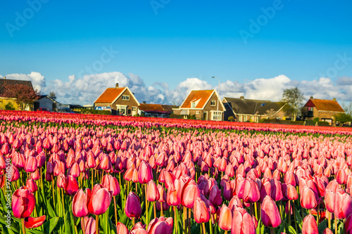 tulips field,irigation canal and wind mills mist