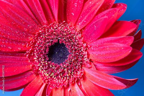 Foto op Canvas Madeliefjes Fresh wet gerbera flower close-up at spring.