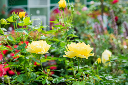 Poster Jardin blossom yellow roses in the garden