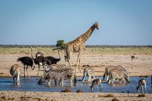 Animails Roaming Around The Etosha National Park In Namibia, Southern Africa.