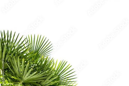 liscie-palmowe-na-bialym-tle