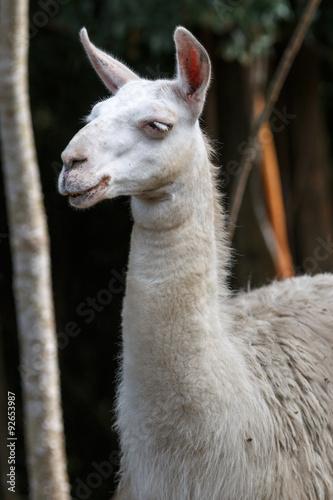 Staande foto Lama リャマのポートレート