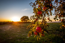 Reife Äpfel In Der Abendsonne