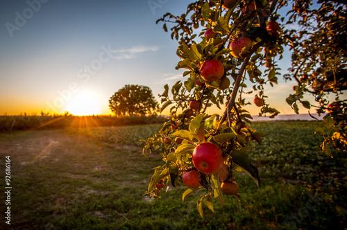 Photo Reife Äpfel in der Abendsonne