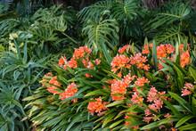 Orange Clivia Flowers Growing ...
