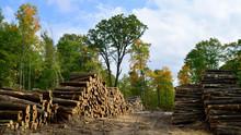 Hardwood Logs Piled In Fall