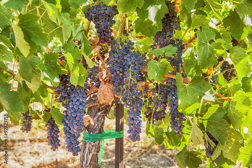 Tuinposter Wijngaard Ripe Syrah Grapes In The Vineyard