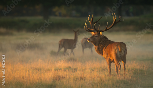 Valokuva Red Deer Stag at dawn
