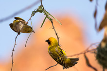 Weaver Birds Building A Nest, The Grey Female Controlling, The Yellow Male Working, Waterberg, Namibia