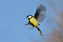 Flying Great Tit Against Brigh...