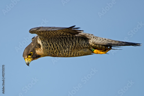 Photo  Peregrine Falcon in Flight Hunting