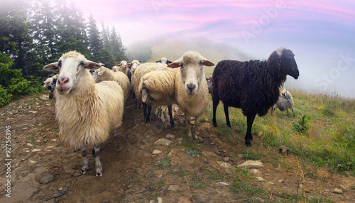 Tuinposter Purper Shepherds and sheep Carpathians